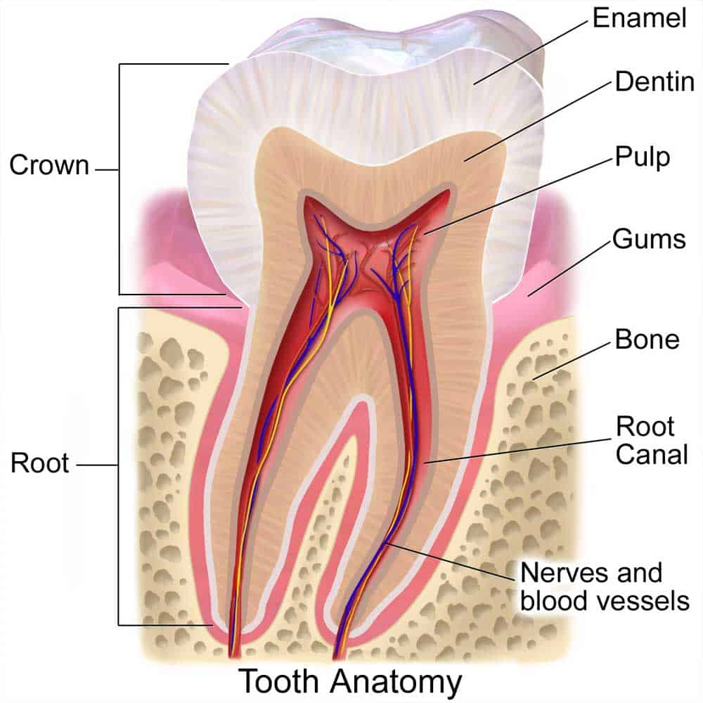 Scientific diagram showing the anatomy of a tooth