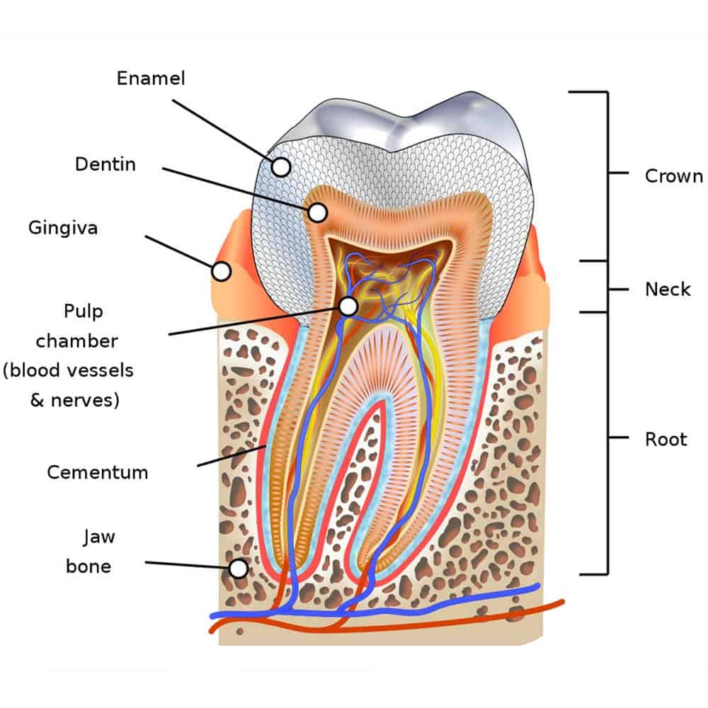 Illustration of the structure of the tooth