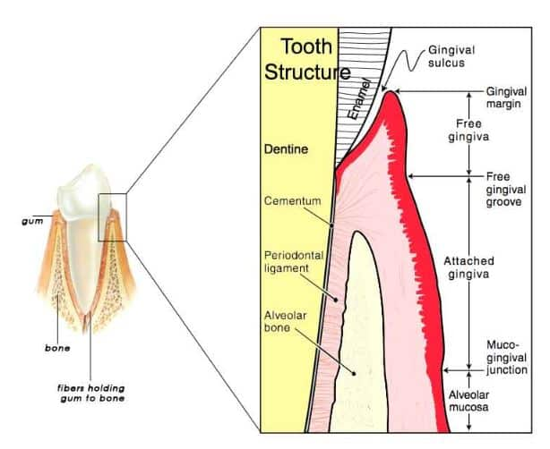 Gingivitis (Gum Disease): Symptoms, Causes, Treatments & FAQ. 1